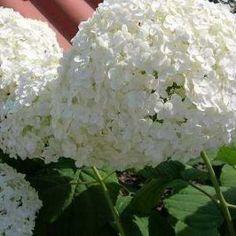Como controlar y cambiar el color de las Hortensias Feta, Florida, Gardening, Amazing, Gardens, Pot Plants, Hydrangea Care, Blue Hydrangea, Growing Roses