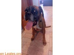 Perros encontrados  España  Las Palmas - Gran Canaria  Telde March 04 2018 at 09:24PM   GRAN CANARIA  #PERDIDO #ENCONTRADO  Contacto y Info: https://leales.org/perdidos-o-encontrados/perros-encontrados_1/gran-canaria_i3582 #Difunde en #LealesOrg un #adopta y sé #acogida para #AdoptaNoCompres O un #SeBusca de #perro o #gatos ℹ Se encuentra en las dependencias de la policía local de La Garita Boxer hembra encontrada en Telde. La tengo en casa ahora mismo voy a llevarla al veterinario para…