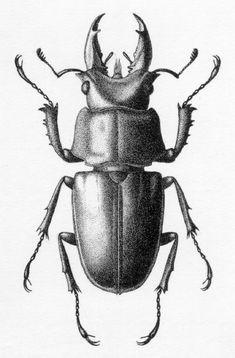 Prismognathus subaeneus
