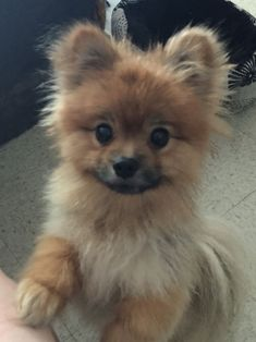 Corduroy, the Pomeranian More #Pomeranian