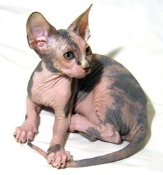 I want a little sphynx!!!!