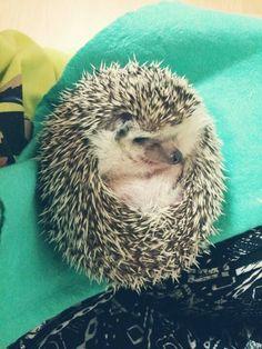 hedgehog chichi 고슴도치 고슴고슴