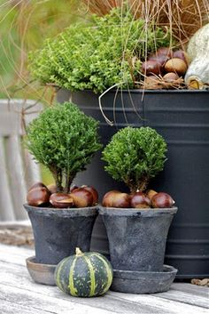 WHAT ABOUT TINY EVERGREEN TREES