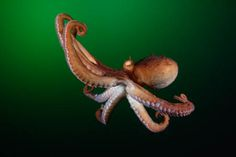 An octopus with a grudge:  Inside the mind of a cephalopod