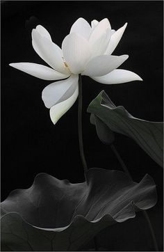 """""""The lotus is a flower that grows in the mud. The thicker and deeper the mud the more beautiful the lotus blooms."""" Bouquet for bride Exotic Flowers, Beautiful Flowers, Beautiful Gorgeous, Belle Photo, Ikebana, Black And White Photography, Planting Flowers, Flowers Perennials, Flower Arrangements"""