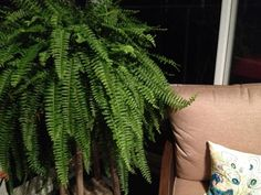 This fern loves the sunroom!