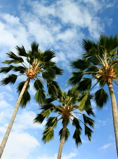 Fan palms in Kailua Kona, Hawaii #summer