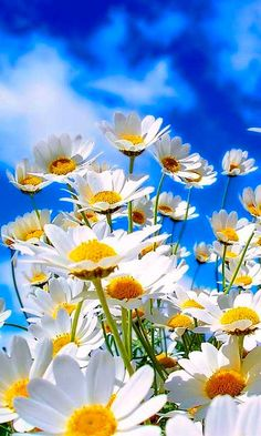 Beautiful White Daisies
