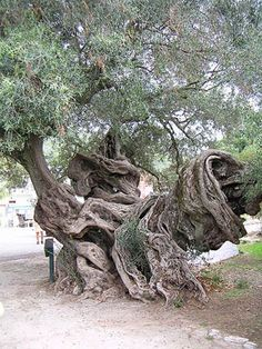 Google Image Result for http://www.greek-islands.us/greek-food/olive-oil/old-olive-tree.jpg