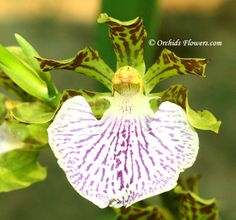Zygopetalum crinitum Lodd. 1831 is an epiphytic or terrestrial growing orchid species, native to South and South-East Brazil.