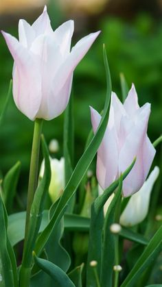 ✿ Tulip チューリップ楊貴妃かな?