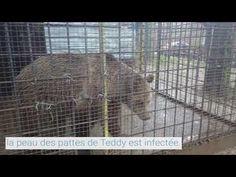 Teddy a besoin de nous ! #saddestbears Le jeune ours brun Teddy est enfermé dans une cage de 40 mètres carrés. Depuis maintenant quatre ans, il végète mal nourri et sans liberté de mouvement dans cette cage rouillée. Nous voulons offrir à Teddy une nouvelle maison dans le PARC DES OURS DANSANTS de Belitsa. QUATRE PATTES gère ce sanctuaire en coopération avec la Fondation Brigitte Bardot. Les préparatifs ont commencé, ce qui manque encore c'est le soutien de nombreux amoureux des animaux… Fondation Brigitte Bardot, Miniature Pigs, Mini Pig, Miss Piggy, Animal Cruelty, Indoor, Brown Bear, Park, Interior