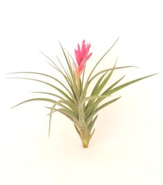 Air Plant Stricta Blooms Pink Tillandsia Great For Terrariums Planters Globes Home Decor Office Accessory