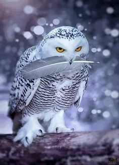 Beautiful Snowy Owl, North Russia