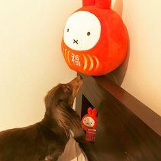 ようこそ我が家へ🏡新人さん、私の後についてくるのよっ🐩  #dog #dogstagram #doglovers #dachshund #dachshundlove #instagramdogs #petsagram #カニンヘンダックス #愛犬 #モモ #かみかみせんとってなー #気分しだいやけど #あか〜ん #ちえっ