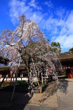 京都平野神社に咲く早咲きの魁桜(さきがけざくら)