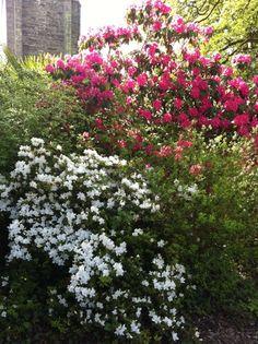 Rhododendron and white azalia
