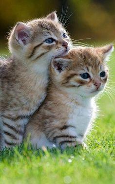 Cute cats and kittens, kittens cutest, kitten love, i love cats, cute cats Kittens And Puppies, Cute Cats And Kittens, Kittens Cutest, Fluffy Kittens, Black Kittens, Kittens Playing, Siamese Kittens, Fluffy Cat, Little Kittens