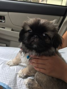 Mochi, our newly adopted Pekingese. Just 11 weeks old and a bundle of joy! Pekingese Puppies, Teacup Puppies, Cute Puppies, Cute Dogs, Dogs And Puppies, Chihuahuas, Doggies, Animals And Pets, Baby Animals