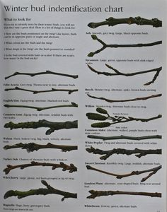 Winter Tree bud Identification Chart … – My Favorite Trees And Shrubs, Trees To Plant, Tree Leaf Identification, Garden Trees, Garden Plants, Tree Study, Nature Journal, Tree Leaves, Winter Trees