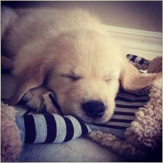 Sweet dreams💤💤 ✔Follow https://www.instagram.com/goldenretrieverpage/ #goldenretrieverpage #goldenretriever #goldenretrievers #goldenretrieversofinstagram #goldenpuppy #goldenpuppies #goldenretrieverlove #ilovedogs #ilovegolden_retrievers #retriever #retrieversofinstagram #goldenretrieverworld #puppydog #puppies #puppy #dogs #dog #dogworld #animals #animal #love #lovedog #instagram #instaanimal #instaanimals #instadog #beautiful #sweetdreams