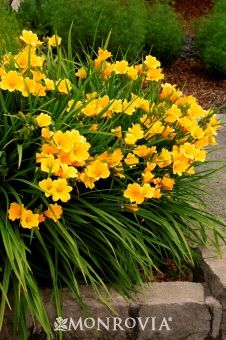 "Stella D'Oro Daylily - Partial to full sun 18"" tall and wide.  Early summer blooming perennial last all summer. Zone 4-11"