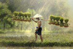 Farmers grow rice in the rainy season__Vietnam by Jakkree Thampitakkul on 500px
