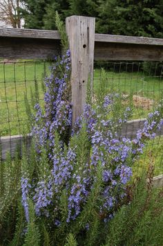 Blake's Rosemary Plant. LOVE Rosemary plants in the garden. Photo by Judy.