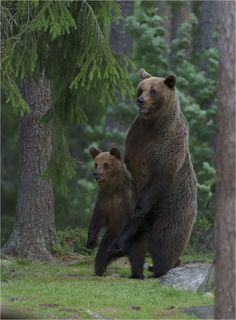 Grizzly mom and her cub in Finland by Hans Rentsch, via earthandanimals.tumblr.com