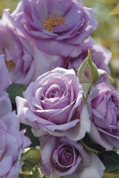 Rosa Floribunda (Enchanted Evening)... and yet another I adore