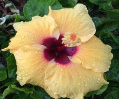 Moon Drop Hibiscus