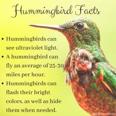 Hummingbird Facts Hummingbirds are the tiniest birds in the world. Hummingbirds can flash their bright colors, as well as hide them when needed. A hummingbird's brain Hummingbird Meaning, Hummingbird Quotes, Hummingbird Symbolism, Hummingbird Nectar, Hummingbird Flowers, Hummingbird Swing, Hummingbird Pictures, Pretty Birds, Beautiful Birds