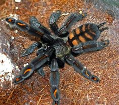 Venezuelan Suntiger / this one just looks like it would be soft to pet! I'd still be chicken! Types Of Spiders, Spiders And Snakes, Weird Creatures, All Gods Creatures, Spider Species, Pet Spider, Horseshoe Crab, Itsy Bitsy Spider, Types Of Animals