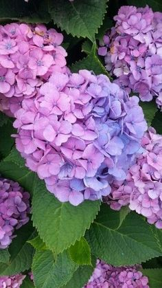 Hydrangea  -  Picture Colors:  Green, Blue, Purple