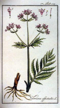 Valeriana officinalis - Valerian - Valeriaan - Echter Baldrian