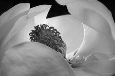 Ansel Adams - Magnolia