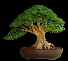 boxwood-bonsai-owner-unknown
