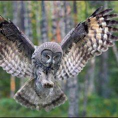Owl in flight.