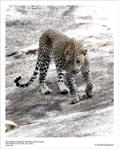 Secret Lanka, your travel agent and tour operator for Sri Lanka and Maldives. Panthera Pardus, Little Island, Leopards, Sri Lanka, Tigers, Lions, Traveling By Yourself, National Parks, To Go