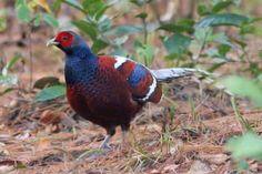Bar-tailed Pheasant (Syrmaticus humiae)