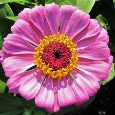 Neu Lang Haltend Schnitt Benary/'s Riesiges Pink Zinnie Blumensamen 35