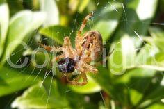 Spider Eating Fly on Web http://www.photoboxgallery.com/mylapshoppublishers #Spider