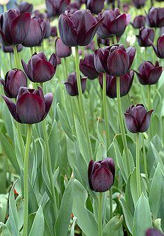Dunkle Tulpen in Istanbul in den Topkapi Gärten. Tulips in Topkapi Gardens by Kristal Images, via Flickr