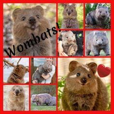Wombat, Lamb, Teddy Bear, Toys, Animals, Activity Toys, Animales, Animaux, Clearance Toys