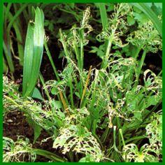 Wirsing, Wirsingkohl - Pflanzen, Pflege Und Tipps | Garten Blattsalat Pflanzen Pflege Tipps Garten
