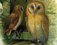 1903 antique original Barn Owl  print, vintage birds color lithograph, bird of prey engraving, plate illustration.