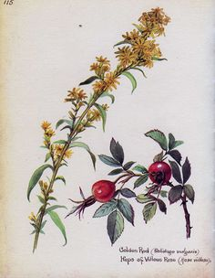 Goldenrod and rose hips - Morning Earth Artist/Naturalist Edith Holden