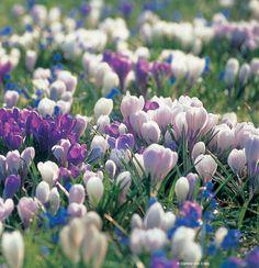 Frühling - Krokusblüten Spring Garden, Spring Time, Flowers, Plants, Violets, Daffodils, Garden Plants, Easter Activities, Plant