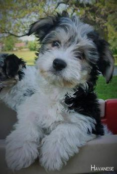Facts On The Smart Havanese Puppy Grooming Havanese Grooming, Puppy Grooming, Havanese Puppies, Baby Puppies, Cute Puppies, Cute Dogs, Dogs And Puppies, Doggies, Havanese Haircuts