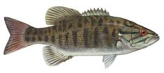 Micropterus dolomieui - Smallmouth